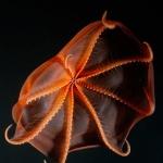 Bioluminescent Octopus
