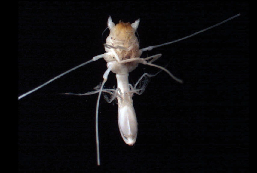 Munnopia Isopod