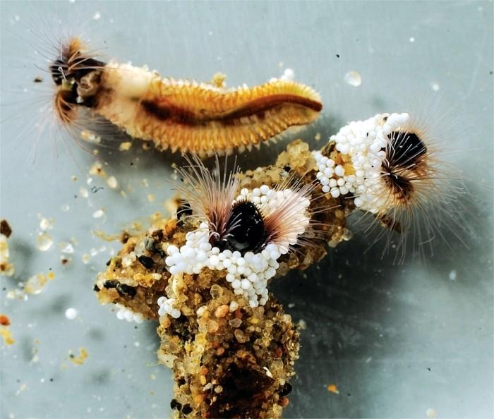 Sandcastle Worm