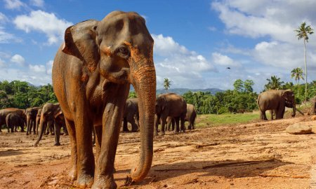 Herd of elephants in Sri Lanka