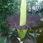 Amorphophallus_titanum plants