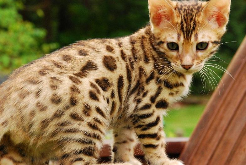 Bengal-Cat wild animals