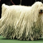 Komondor-Dogs
