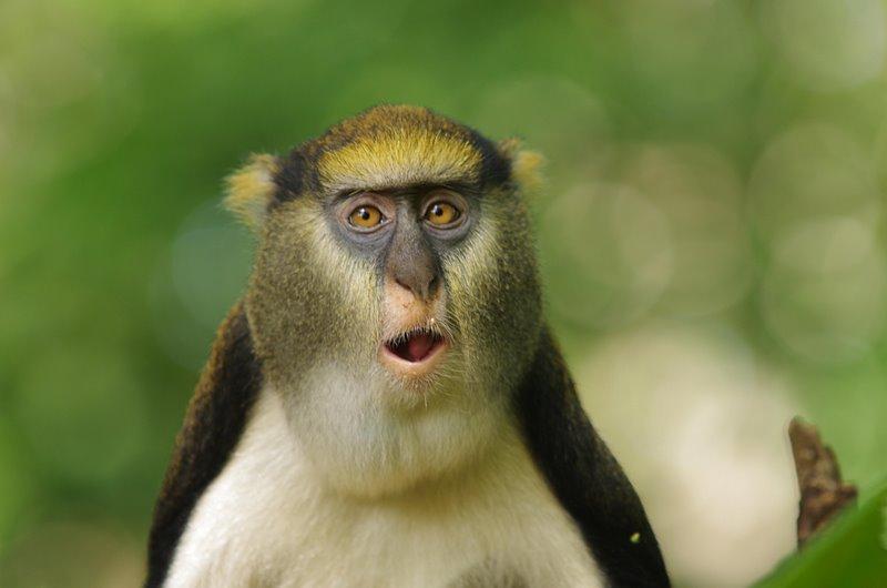Mona-Monkey wild animals