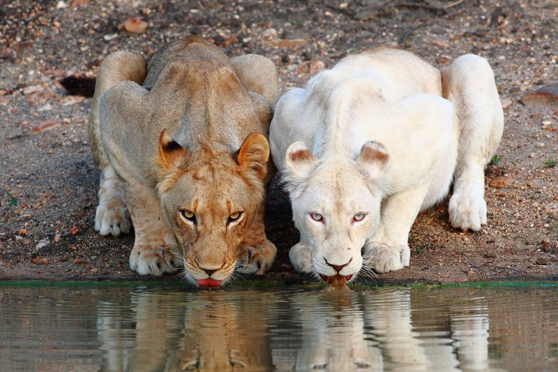White-Lion wild animals