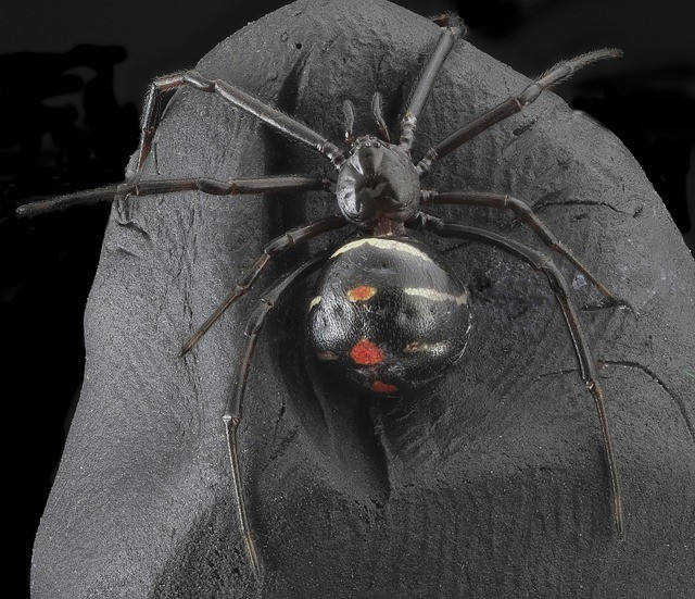 black-widow animals