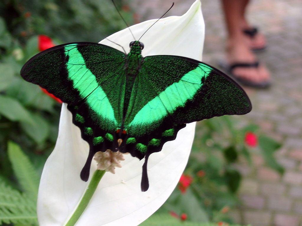 Papilio Blumei
