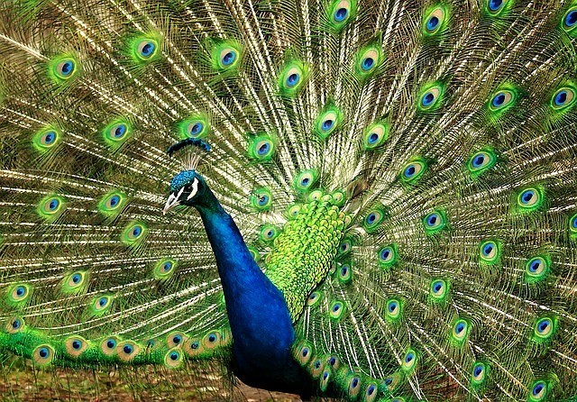 nature Peacock